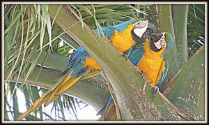 Two macaws in Campo Grande