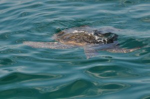 Last turtle seen from Floreana