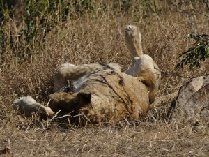 Lioness wakes up
