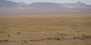 The first group of nine Tibetan Antelope I saw on this tour.