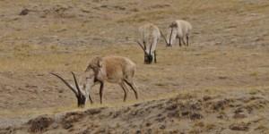 Tibetan Antelope, Kekexili Reserve