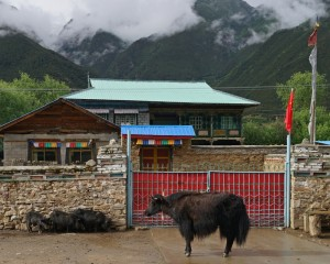 """Home-coming"""" 3 pigs and a yak waiting outside the house"""